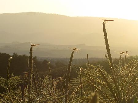 美瑛の丘のトンボ達アップ