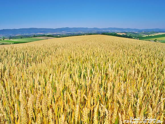 金色(こんじき)の麦
